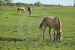 Grazing Horses Royalty Free Stock Photos - Image: 10184808