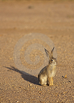 Cottontail Rabbit Royalty Free Stock Photos - Image: 10186048