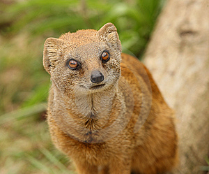 Yellow Mongoose Stock Images - Image: 10191944