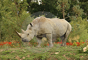White Rhino Royalty Free Stock Photo - Image: 10192125
