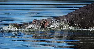 Hippo (Hippopotamus Amphibius) Stock Images - Image: 10192404