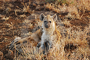 Young Spotted Hyaena (Crocuta Crocuta) Royalty Free Stock Images - Image: 10192589