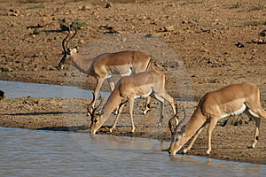 Impalas At Water Hole Stock Photography - Image: 10194342