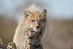 Cheetah Cub Stock Images - Image: 10194464