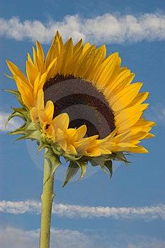 Sunflower Stock Photography - Image: 1022582