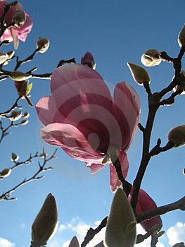 Magnolia Day Bloom Stock Images - Image: 1024254