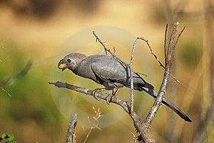 Grey-Go-Away Bird (Corythaixoides Concolor) Stock Photography - Image: 10200022