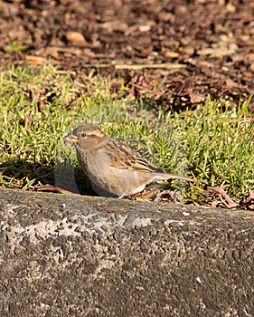 Sparrow Bird Royalty Free Stock Photo - Image: 10200335