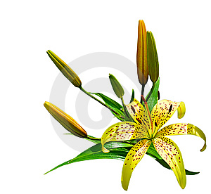 Lily Stock Photography - Image: 10201382