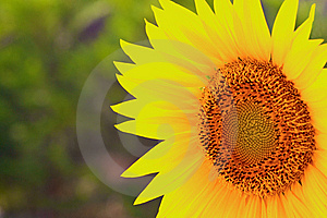 Closeup Of A Sunflower Royalty Free Stock Image - Image: 10201856