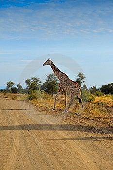 Giraffe (Giraffa Camelopardalis) Stock Photo - Image: 10202800