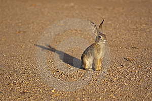 Cottontail Rabbit Royalty Free Stock Photo - Image: 10205615