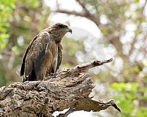 Wild Eagle Stock Photography - Image: 10205732