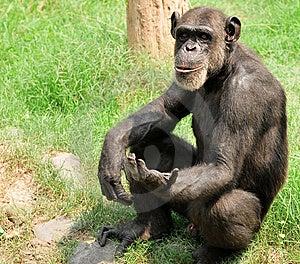 Chimpanzee Stock Image - Image: 10206641