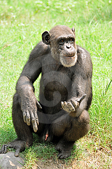 Chimpanzee Stock Photos - Image: 10209093