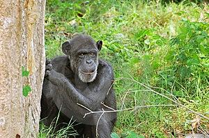 Chminpanzee Hiding Royalty Free Stock Photography - Image: 10209317