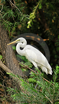 Whit Long Necked Heron Royalty Free Stock Photography - Image: 10209807