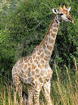 Giraffe Stock Image - Image: 10211181