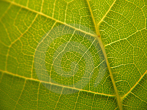 Detailed Leaf Veins Texture Stock Photography - Image: 10213482