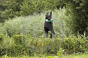 Jumping Dog Royalty Free Stock Photos - Image: 10217118