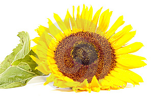 Single Sunflower Isolated On White Stock Photo - Image: 10217510