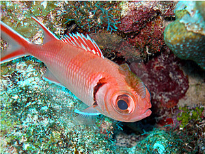 Soldier Fish And Parasite Rider Stock Images - Image: 10220724