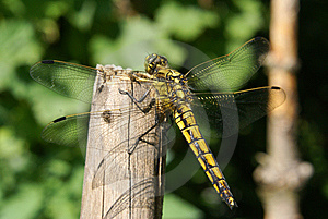 Black-lined Skimmer Royalty Free Stock Images - Image: 10225819