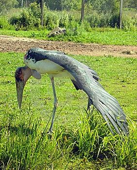 Marabou Stork Stock Image - Image: 10231261