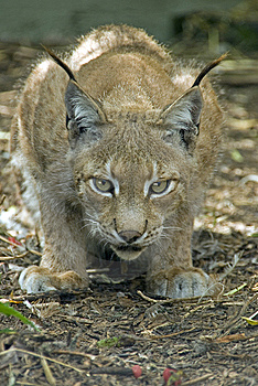 Northern Lynx Stock Images - Image: 10231434