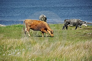 Irish Cows Stock Image - Image: 10231731