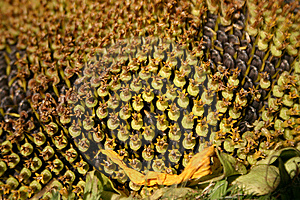 Sunflower Macro Stock Images - Image: 10237994