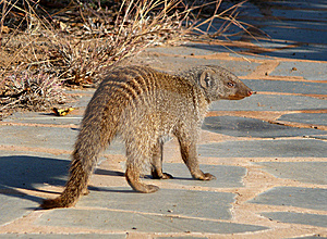 Banded Mongoose 1 Royalty Free Stock Photos - Image: 10255148