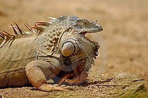 Iguana Stock Image - Image: 10261001