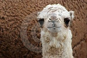 Baby Camel. Royalty Free Stock Image - Image: 10261556