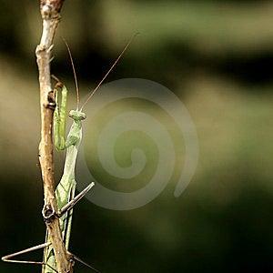 Praying Mantis (Mantis Religiosa) Stock Photo - Image: 10264380