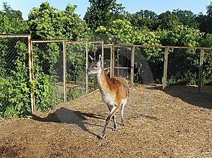 Lama Royalty Free Stock Image - Image: 10271396