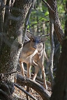 Peek-a-boo Fallow Deer Buck (Dama Dama) Stock Photo - Image: 10271480