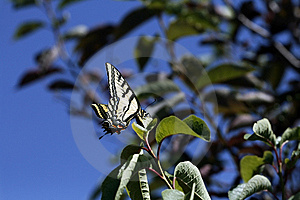 Yellow Monarch Butterfly Stock Images - Image: 10271764