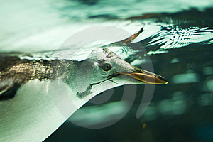 Penguin Underwater Stock Images - Image: 10280324