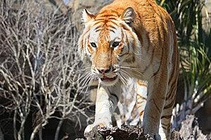 тигр Стоковые Фото - изображение: 10285623