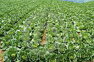 Cabbage Farm Stock Images - Image: 10286154