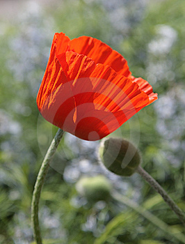 Tenderness Poppy Royalty Free Stock Images - Image: 10286749