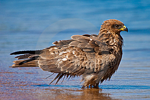 Black Kite Bird Bading In The Water Stock Image - Image: 10289241