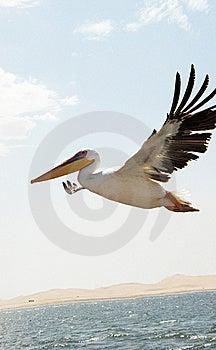 Pelican Royalty Free Stock Photos - Image: 10292608