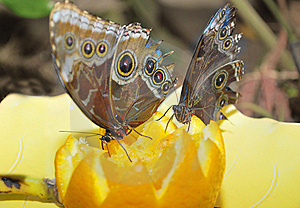 Two Buteterflay On The Fruits. Royalty Free Stock Photos - Image: 10293358