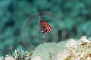 Tailspot Squirrelfish Stock Photography - Image: 10294562