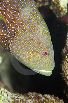Lyretail Grouper Stock Photo - Image: 10294570