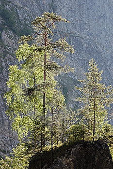 Pine Trees On A Cliff Royalty Free Stock Photo - Image: 10294595