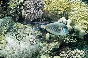 Sohal Surgeonfish Stock Image - Image: 10294851