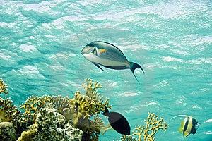 Sohal Surgeonfish Royalty Free Stock Image - Image: 10294866